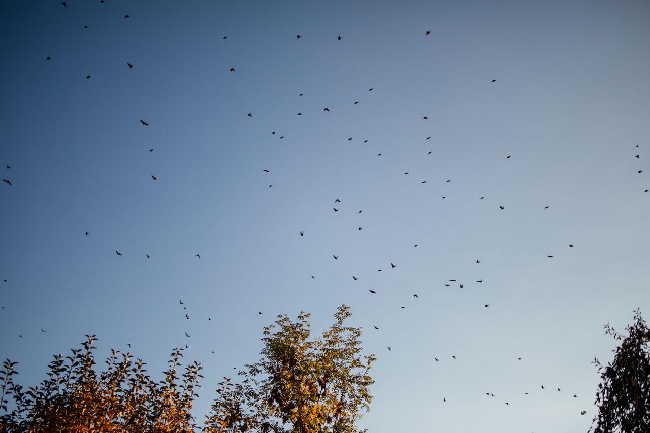 Blauer Himmel mit Unmengen kleiner schwarzer Vögel und ein paar Bäumen am unteren Bildrand